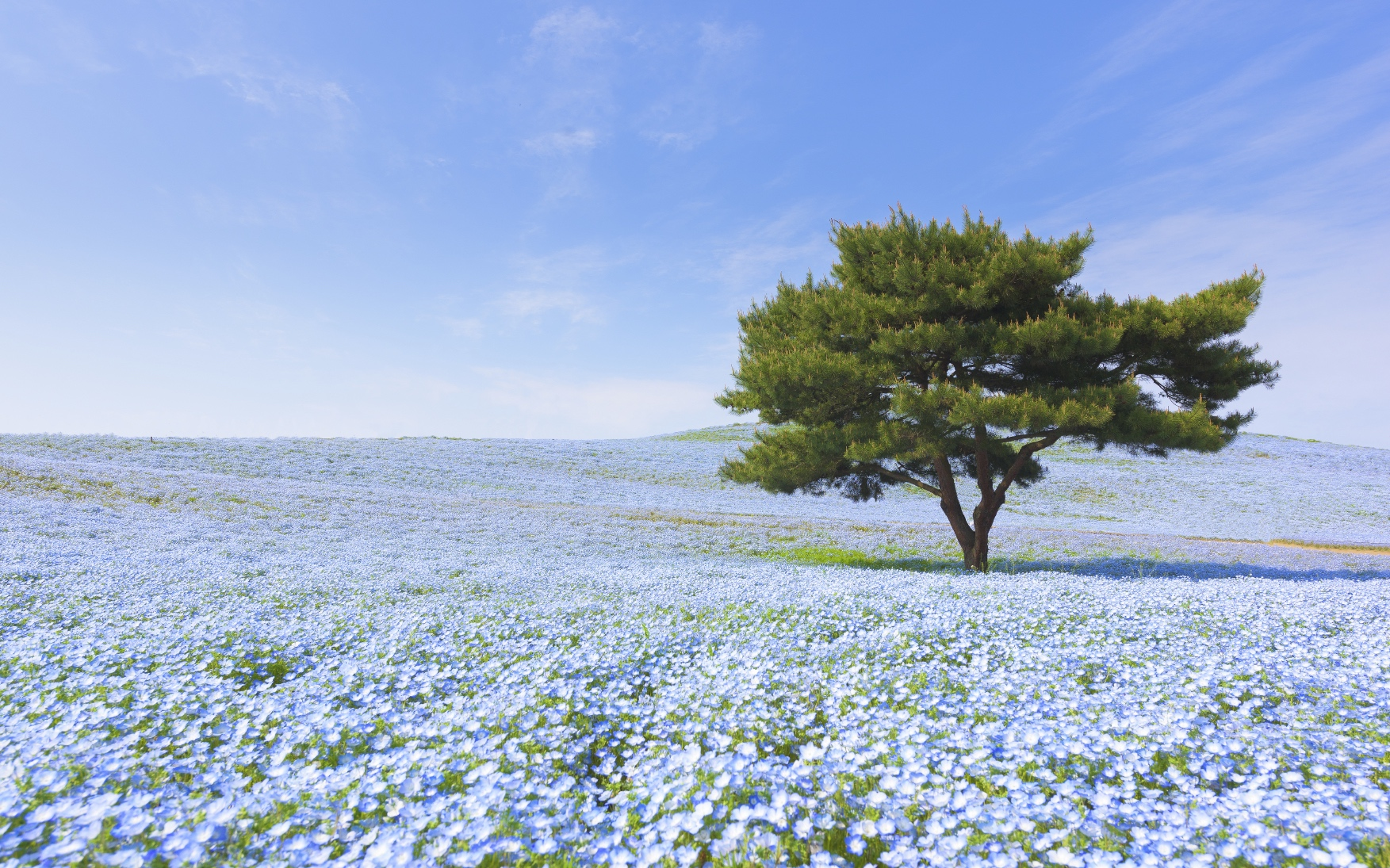 Mountain, Tree and Nemophila in Japan